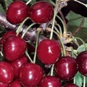 Саженцы черешни сорт Кордия фото