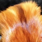 Шкуры лисицы красной фото