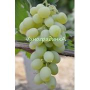 Саженцы винограда (сорт Новый Подарок Запорожью) фото