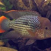 Рыба аквариумная Акара бирюзовая - Aequidens sp. фото