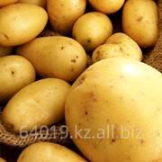 Картофель ранний фото