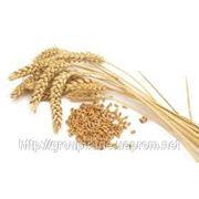 Закупка пшеницы 2-го класса (СРТ) (с 15.07) фото