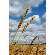 Закупка пшеницы 6-го класса (СРТ) (с 15.07) фото