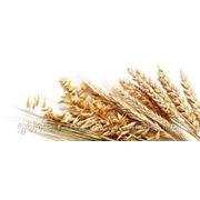 Пшеница кормовая Крым фото