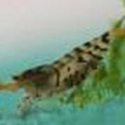 Креветка тигровая (Caridina cf. cantonensis Tiger Shrimp) фото