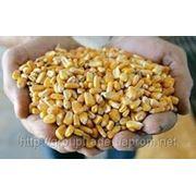 Закупка кукурузы фуражной (СРТ) фото