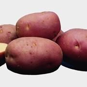 Картофель голландский сорт Ред Скарлетт (Red Scarlett)