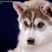 Приму в дар или куплю недорого щенка сибирской хаски фото