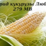 Гибрид кукурузы Любава 279 МВ