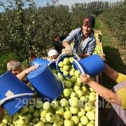 Яблоки оптом 60+ от производителя 36 р/кг!36 фото