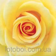 "Фотообои ""Желтая роза (12Л)"" Ника 2000000297927 фото"