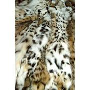 Бобкет Рысь - Lynx rufus фото