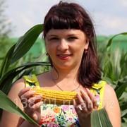 Кукуруза семена (F1) Воронежский 279 СВ фото
