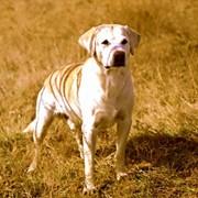 Племенные собаки в Алматы фото