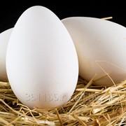 Яйцо гусиное инкубационное фото