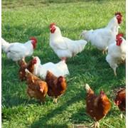 Куры мясные, куры, цесарки, утки, гуси экологически чистый продукт фото
