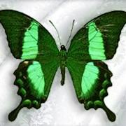 Бабочка Papilio Palinurus фото