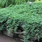 Можжевельник Juniperus hor. Wiltonii фото