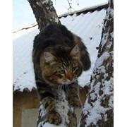 Кот сибирской породы фото