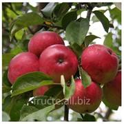 Яблоки лобо фото