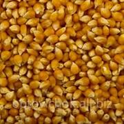 Кукуруза POP-CORN 966 фото