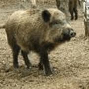 Охота на дикого кабана в Казахстане фото