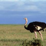 Продаются семья африканских страусов фото