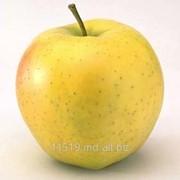 Яблоки сорт Голден
