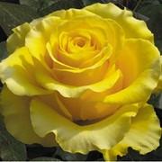 Розы чайно-гибридные (привитые) Ани Данике фото