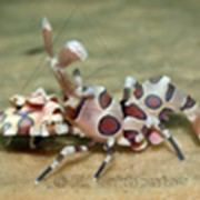 Креветка-арлекин пятнистая фото