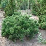 Pinus mugo var. mughus (сосна горная) фото