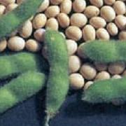 Семена гороха овощного фото