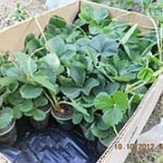 Рассада клубники, земляника садовая : Альба, саженцы клубники фото
