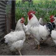 Пробиотики для кур-несушек. фото