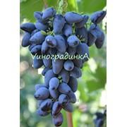 Саженцы винограда (сорт Викинг) фото