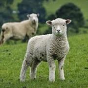 Овцы, продажа овец фото