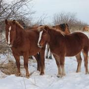 Взрослые лошади фото