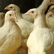 Цыплята-бройлеры фото