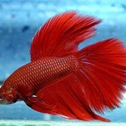Рыбка петушок красный фото