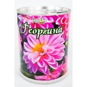 Георгина Bontiland растение в банке, (77024) фото