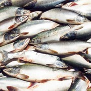 Продажа рыбы фото