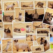 Тайские котята на продажу в Молдове фото
