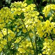 Горчица семена сидерат (Сарептская Люкс) фото