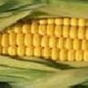 Семена кукурузы фотография
