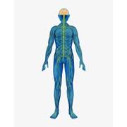 Нервная система фото