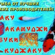 Декоративные рыбки кои и кометы фото