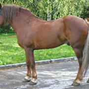 Лошадь русской тяжеловозной породы фото