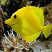 Рыба Желтая Зебрасома Zebrasoma flavescens фото
