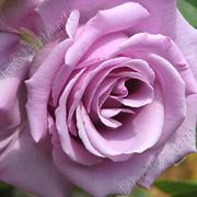 Саженцы роз, розы чайно-гибридные. фото