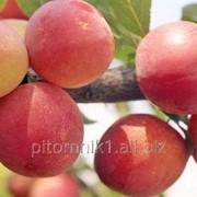 Слива Персиковая фото